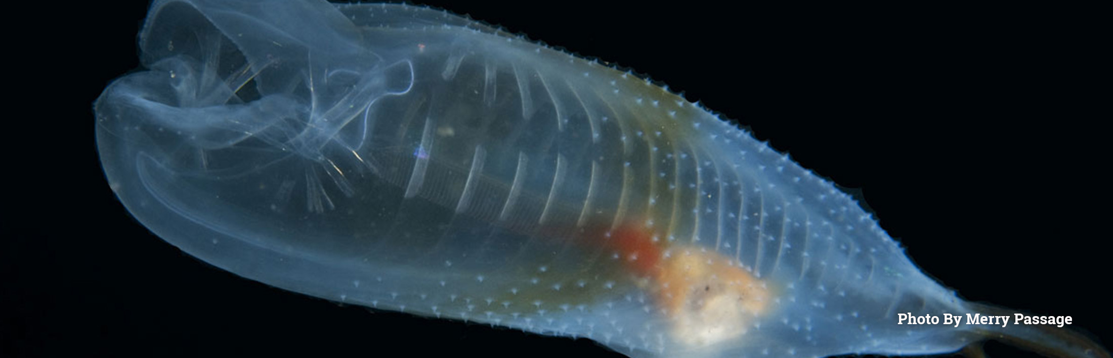 Honorable Mention Large Salp, Redondo Beach, by Merry Passage